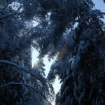 icy_trees_003