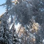 icy_trees_030