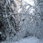 icy_trees_032