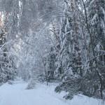 icy_trees_033