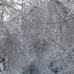 icy_trees_036