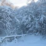 icy_trees_037