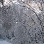 icy_trees_039