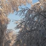 icy_trees_041
