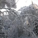 icy_trees_043