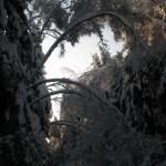 icy_trees_044