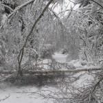 icy_trees_0476