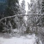 icy_trees_0438