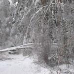 icy_trees_0444