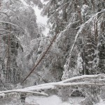 icy_trees_0450